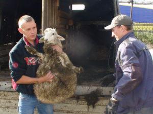 Получение многодетными семьями барана и овцы
